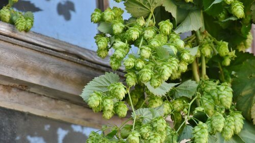 Hops on a plant